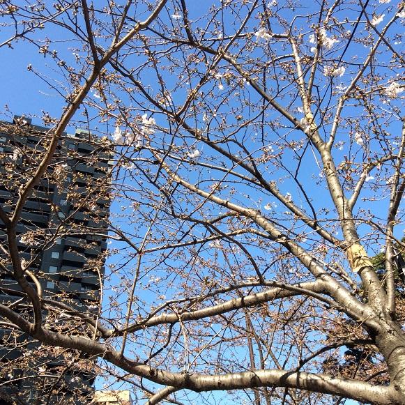 期待した桜は一分咲き